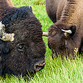 Buffalo Eyes by Jon Berghoff