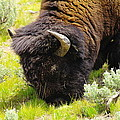 Buffalo Grazing by Jeff Swan