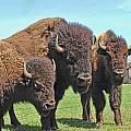 Buffalo Group II by Debbie Portwood