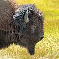 Buffalo Portrait by Robert Bales