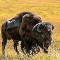 Buffalo  by Robert Bales