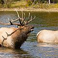 Bugling Bull Elk And 2 Female Cows In Estes Lake  Co by James BO Insogna
