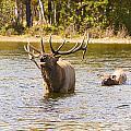 Bugling Bull Elk And Calf Colorado Rut 4 by James BO Insogna