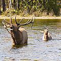 Bugling Bull Elk And Calf Colorado Rut 5 by James BO Insogna