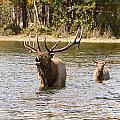 Bugling Bull Elk And Calf Colorado Rut  by James BO  Insogna