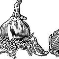 Bulbs Of Garlic, Woodcut by Gary Hincks