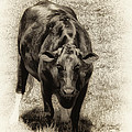 Bull by Bill Cannon