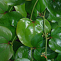 Bull Briar - Cat Briar - Smilax by Mother Nature