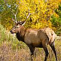 Bull Elk Autum Portrait by James BO Insogna