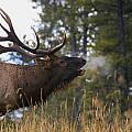 Bull Elk Bugling Jasper National Park by Carson Ganci
