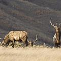 Bull Elk by Mark Duffy