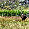 Bull Elk  by Robert Bales