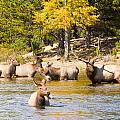 Bull Elk Watching Over Herd 4 by James BO Insogna