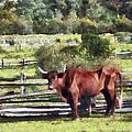 Bull In Pasture by Susan Savad