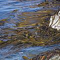 Bull Kelp Bed by Bob Gibbons