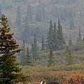 Bull Moose In Alaska by Karen Lee Ensley