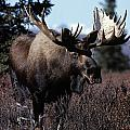 Bull Moose by Natural Selection Bill Byrne