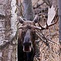 Bull Moose Stare Down by Sam Amato