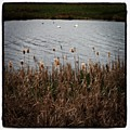Bull Rushes And Swans by Chris Jones