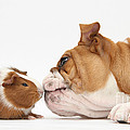 Bulldog & Guinea Pig by Mark Taylor
