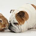Bulldog And Lionhead-cross Rabbit by Mark Taylor