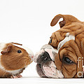 Bulldog Pup Face-to-face With Guinea Pig by Mark Taylor