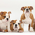 Bulldog Pups In A Row by Mark Taylor