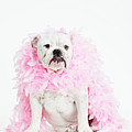 Bulldog Wearing Feather Boa by Max Oppenheim