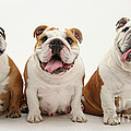 Bulldogs by Mark Taylor