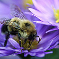 Bumble Bee And Fall Aster by Thomas J Martin