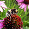 Bumble Bee by Eamon Gilbert