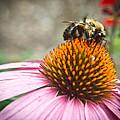 Bumble Bee Feeding On A Coneflower by Douglas Barnett