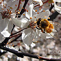 Bumble Bee On A Cherry Blossom by Tyra  OBryant