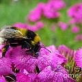 Bumble Bee Searching The Pink Flower by Ausra Huntington nee Paulauskaite