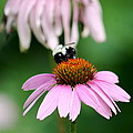 Bumblebee Bliss by David Dinsdale