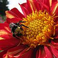 Bumblebee Dahlia 1 by Lora Fisher