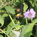 Bumblebee by Ericamaxine Price