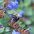 Bumblebee In Plumbago Larpentae by Victoria Porter