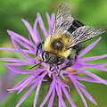 Bumblebee On A Purple Flower by Laurel Talabere