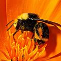 Bumblebee On Flower by Greg Nyquist