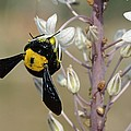 Bumblebee On Sea Squill Flowers by Photostock-israel