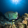 Bumphead Parrotfish, Australia by Todd Winner