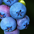 Bunch Of Blueberries by Sharon Talson