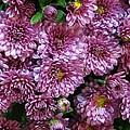 Bunch Of Chrysanths by Sonali Gangane