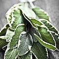 Bunch Of Fresh Sage by Elena Elisseeva