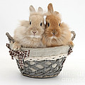 Bunnies A Basket by Mark Taylor
