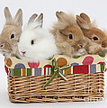 Bunnies In A Basket by Mark Taylor