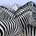 Burchells Zebra Equus Quagga by John Pitcher