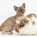 Burmese Kitten And Rabbit by Mark Taylor