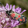 Burnet Moth by Paul Harcourt Davies